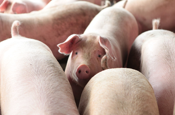 飼料飆漲 大企業搶進 豬農心聲誰人聽?