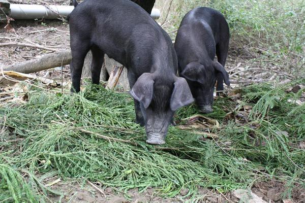 銀合歡是以前台灣重要的養豬飼料,含有豐富蛋白質