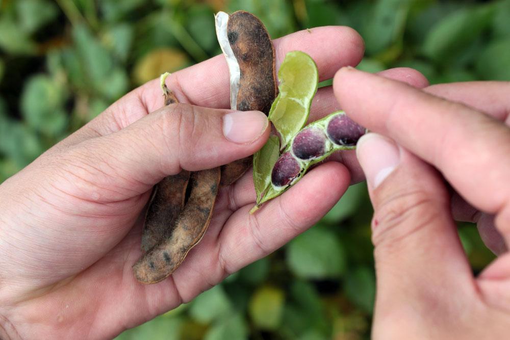 產銷班今年也試種高雄農改場育成的大豆品種「高雄9號」做為黑豆。