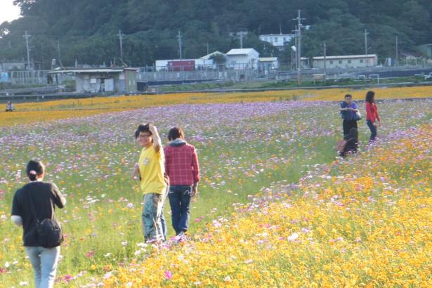 南澳樂田利用有機農地休耕期間,種植達70公頃的大波斯菊、向日葵、百日草,將於2012/12/15~2013/1盛開,也為明年正式有機的牧師米提供天然綠肥。
