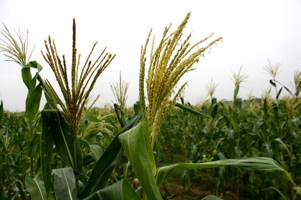 台灣每年購買進口玉米達四百多億,如何將商機留給台灣農民?