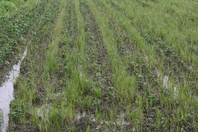 今年大豆遇雨,收成恐怕不如去年。
