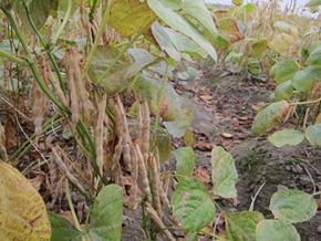 慣行農法的紅豆豆莢飽滿,大小齊一,產量是有機的兩倍