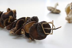 越南採土法煉鋼方式風乾香菇,乍看之下宛如串燒,雖然有刺鼻腥味卻是當地人最愛的味道