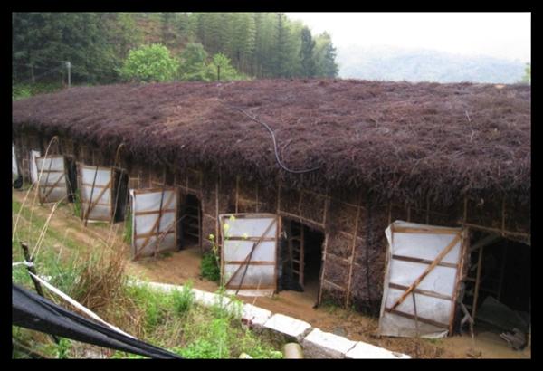 中國多半採取開放式菇寮,用竹子和稻草簡單搭建,須搭配大量農藥才能抑制細菌(圖片提供:亞洲大學食藥用菇類研究中心)