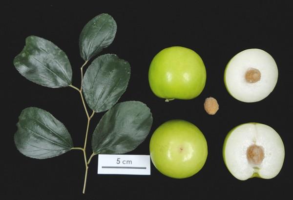 蜜棗─未來的全球性重要水果