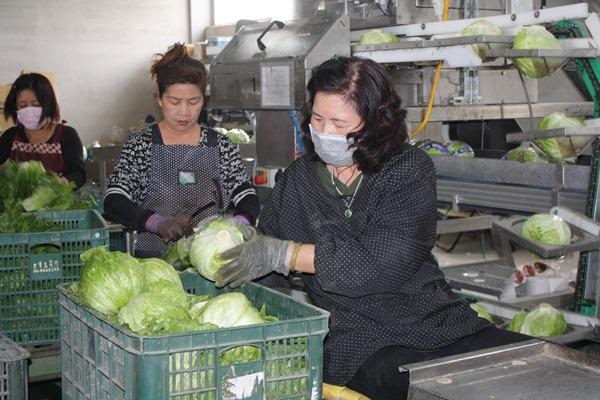 採收完畢的美生菜送回工廠加工,2011年底添購的自動包裝機大幅提升包裝效率