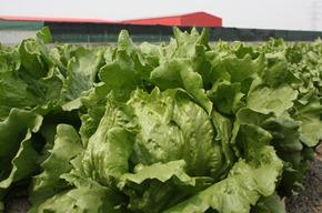 麥寮果菜生產合作社9年前攻佔國際市場,現在每年產值高達億元,名副其實台灣綠金