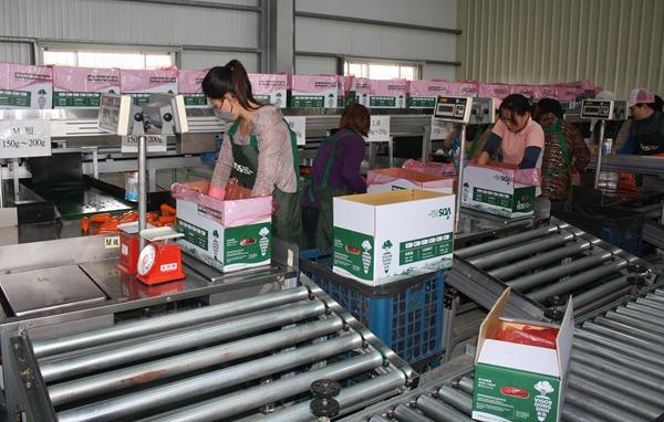 機器自動將A級胡蘿蔔按照重量分尺寸,不論日本或香港都能在這裡找到自己的需求