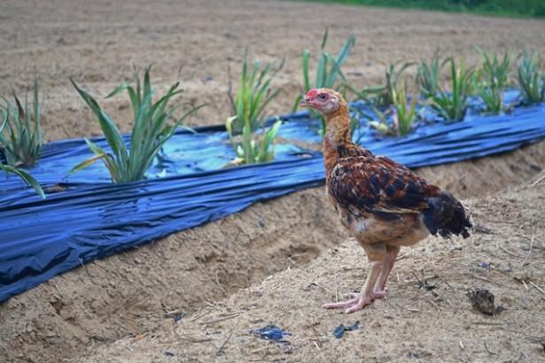 【公民寫手】曾經,我有一群小雞雞。