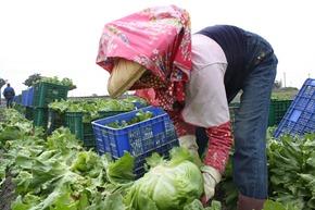 採收班每到收成季節都很忙碌,每個人一天至少可以摘下幾百顆美生菜