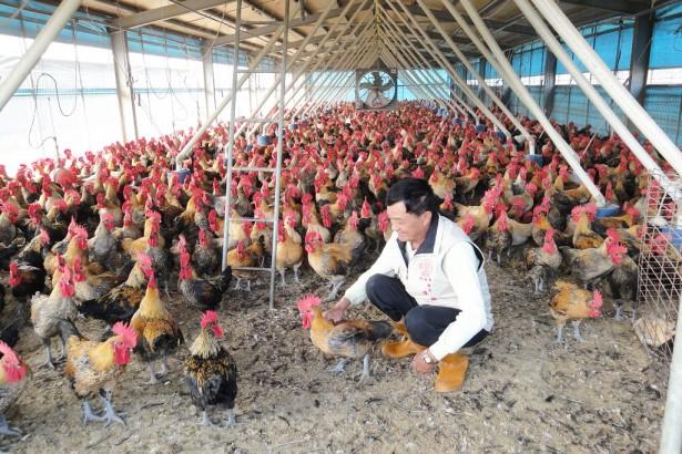 【公民寫手】台灣用心小農系列:聽音樂長大的放牧黃金土雞