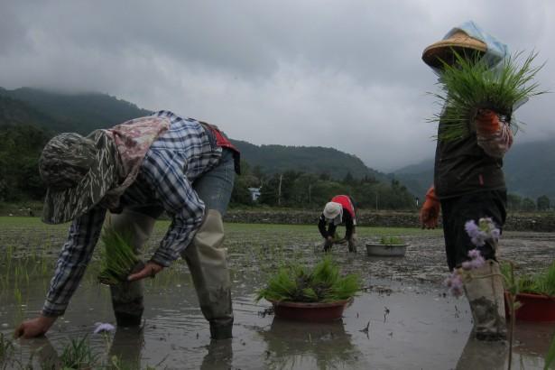 【公民寫手】從農之路- 默默米插秧後10日,強韌的生命