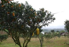 林美村的金棗佔全台灣八成,可以說是金棗之鄉