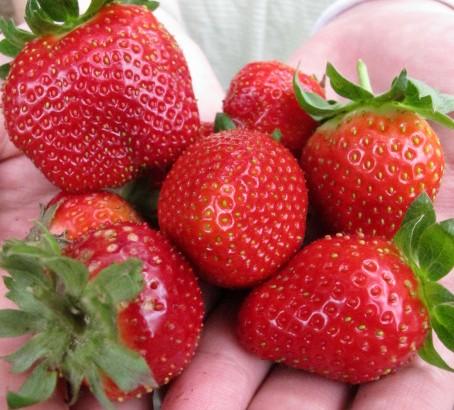 竹南第ㄧ家幸福草莓-有機無毒沙地草莓-探訪有機農友