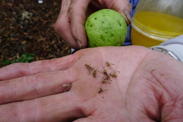 台大全球首創果實蠅監測系統,BBC也稱讚