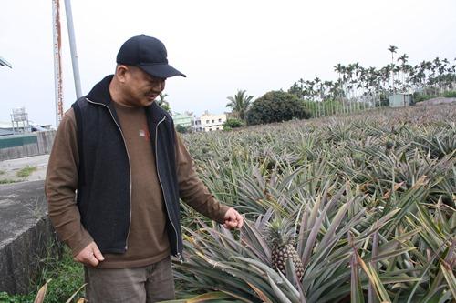 林稷治和鳳梨農陳明輝合作產銷履歷,用藥、施肥都由合作社管控