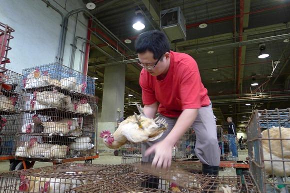 (2)身體強壯的雞才能脫穎而出到市場,雞農擔心電宰後若沒有嚴格的管理制度恐將導致病雞流入市面3