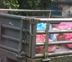 (2)藍色塑膠袋裝著店宰好的土雞,紅色袋子則是雞農另外到市場批發的分切部位,和活禽放在同一個後車廂
