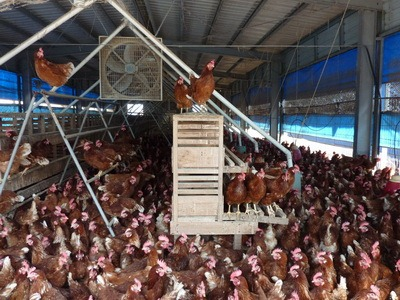 (1-1)雞販的一天從批發市場開始,一早就有來自四面八方的雞農、雞販、行口到環南家禽批發市場交易