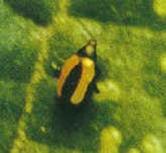 黃條葉蚤3