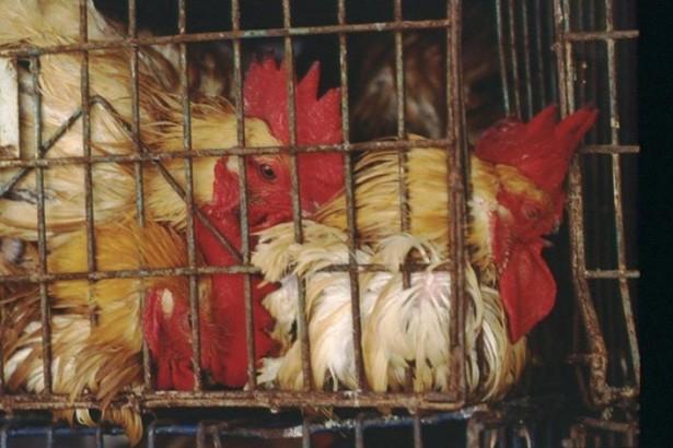 從動物權角度看活禽禁宰:別因政策不完整而反對全面電宰