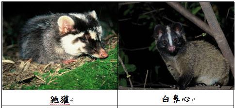 鼬獾沒有商業市場價值,除了曾有段時間被冒充成小白鼻心販賣,因此走私鼬獾的可能性不高。