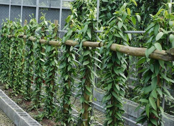 香莢蘭植株生長情形