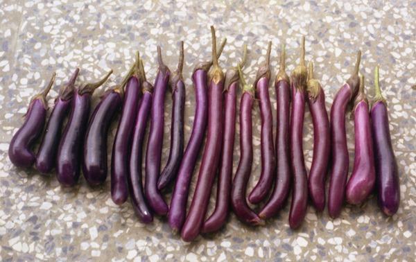 茄子高雄2號後代分離不可留種