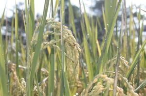 新品種芋香米「高雄147號」首度入選全國十大經典好米。