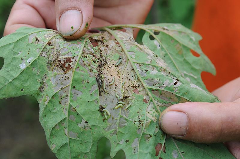 斜紋夜盜蛾產卵於紅藜葉背,幼蟲集體啃噬葉片,速度驚人