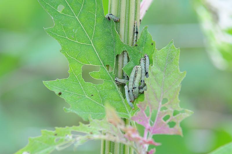 紅藜最主要的蟲害「斜紋夜盜蛾」