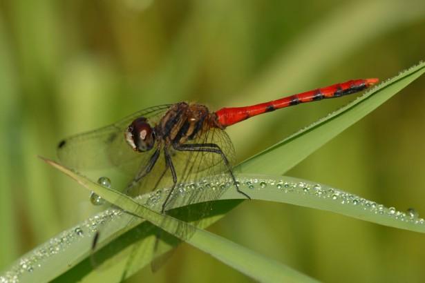 發現台灣新物種—纖紅蜻蜓