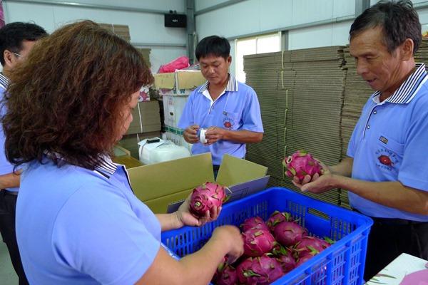 火龍果產銷班目前有37個班員,個個都用無毒栽培,通過吉園圃認證