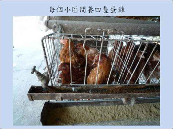一般籠飼的雞,A4大的面積養了2-4隻雞,擁擠造成雞無法活動,處於緊迫狀態。