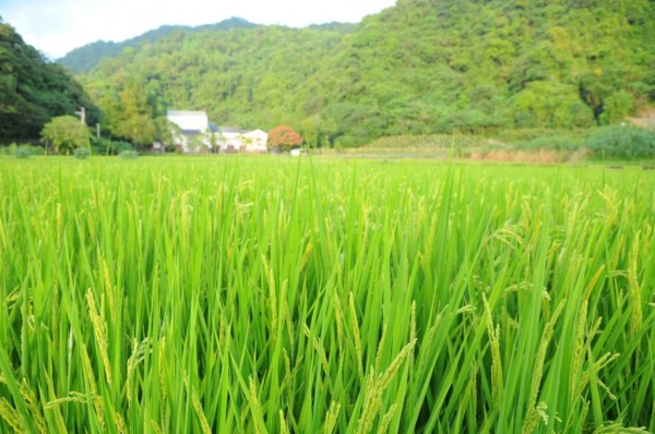 這片有機稻田的後方就是東豐拾穗有機農場