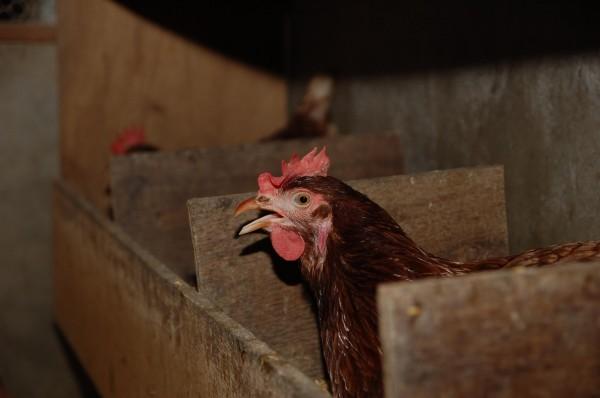 [木製的蛋雞產蛋箱]放牧的雞需經過訓練,將蛋產在蛋箱中,而不是隨地下蛋。