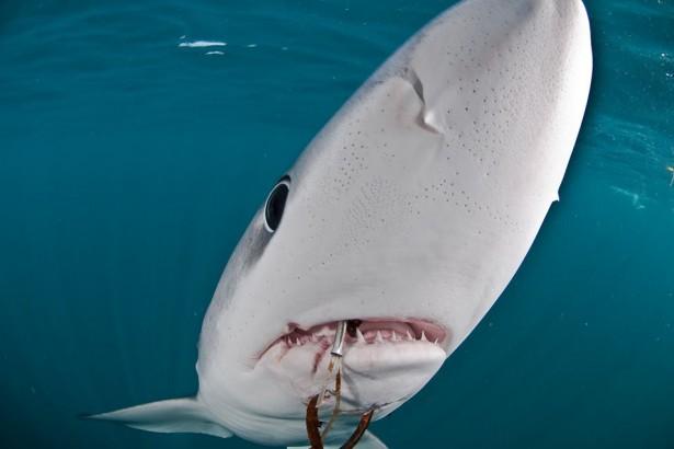 學界民間攜手調查,台灣吃鯊紀錄登國際期刊