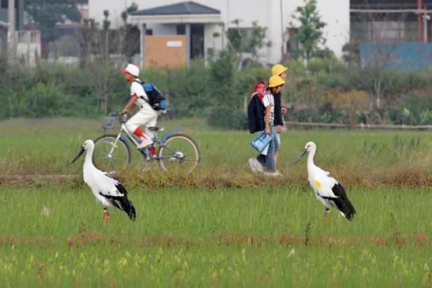復育東方白鸛,凝聚農村榮譽感:日本豐岡經驗
