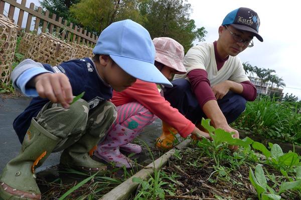 小朋友會在老師帶領下拔雜草,但林慧敏笑說,一次只能教他們拔一種,不然他們會把菜都拔光