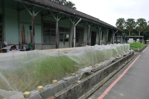 台大農藝系師生在磯小屋外種植各式古稻