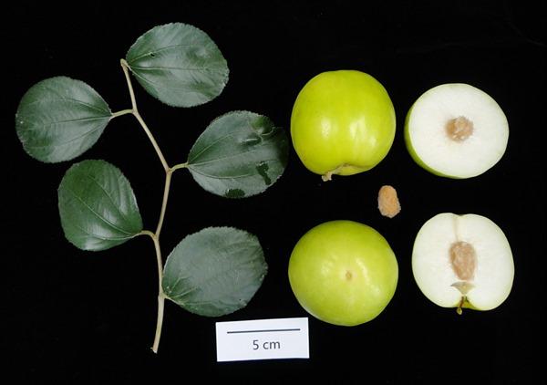 高雄11號珍蜜葉片果實及種子