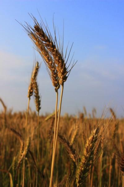 東石小麥1