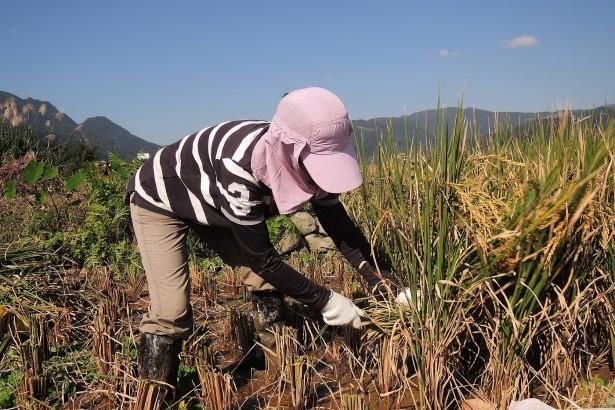 2013年二期稻手收割活動,此為月見首次自行育苗(台中秈十號),為了自行留種在來年春天種植。
