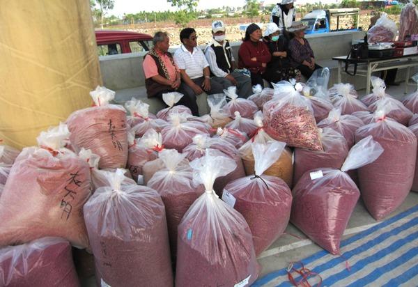 紅藜契作豐收,共計收成一千五百公斤,若加上後續收成,今年預估三千公斤