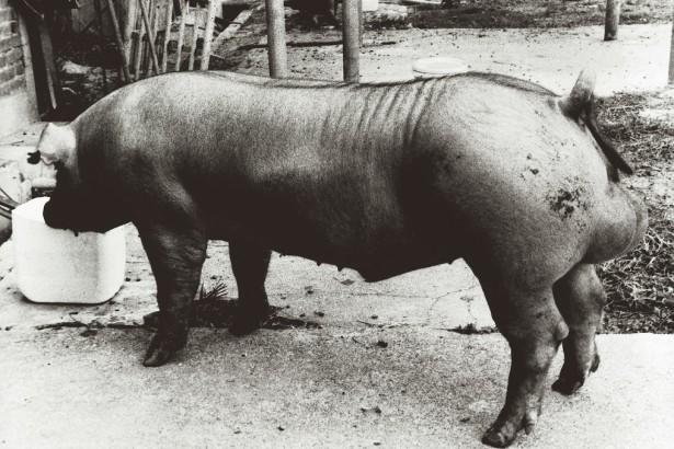 這是台灣有史以來身價最高的種豬「創紀錄」。(黎漢龍提供)