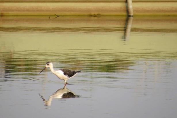 曬池前的魚塭,成為水鳥覓食的天然環境