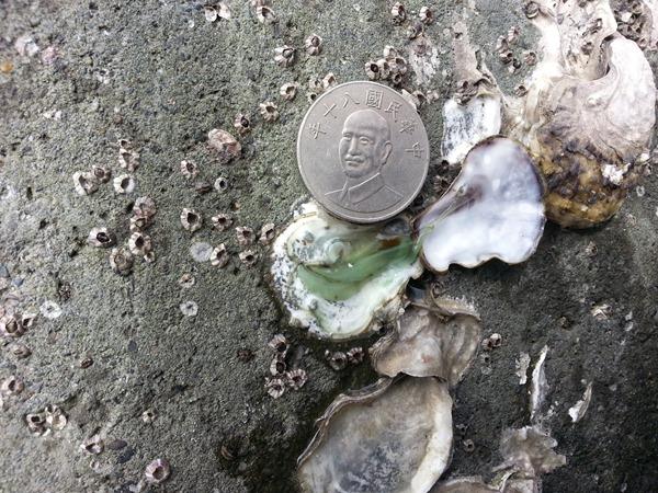 06電廠出水口導流堤南岸消波塊綠牡蠣130217