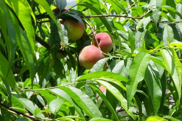 【公民寫手】自然栽培水蜜桃紅肉李 直購送到家也歡迎現採