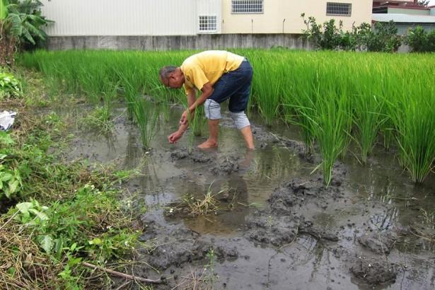 王俊智的稻田 讓福壽螺混口飯吃